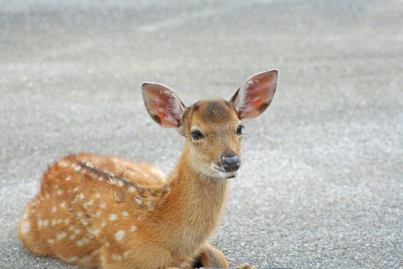 Unga hjortar som sitter på vägen royaltyfri foto