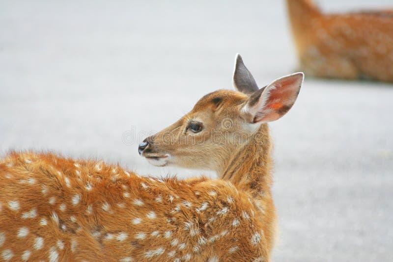 Unga hjortar som sitter på vägen fotografering för bildbyråer
