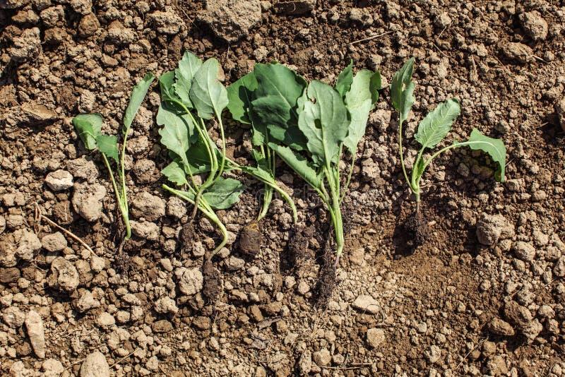 Unga kålrabbispädbarnväxter - som är klara att planteras in i groun arkivbild