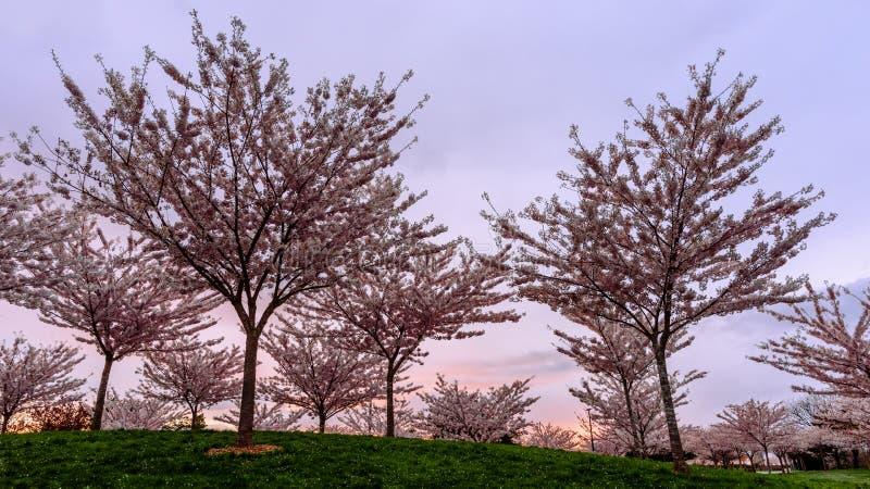 Unga körsbärsröda träd på en grön kulle i parkera mot en backgro arkivfoton