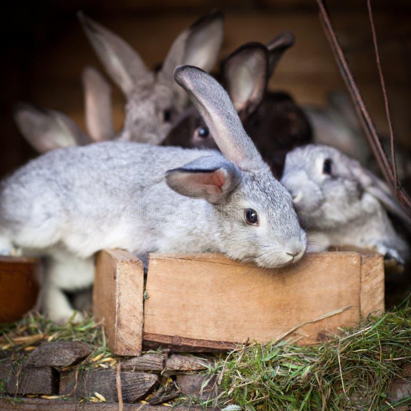 Unga kaniner POP ut ur en hutch arkivbilder