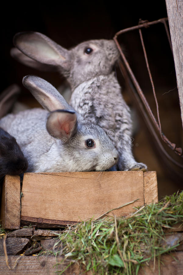Unga kaniner POP ut ur en hutch arkivbild