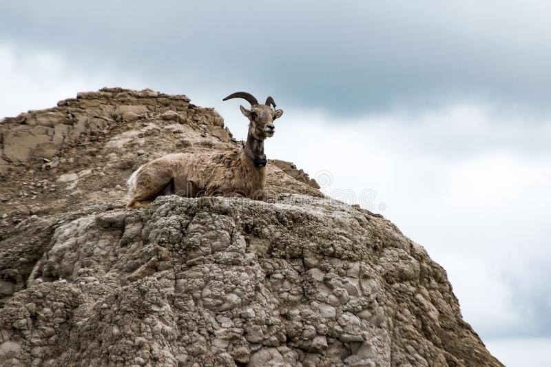 Unga kvinnliga Bighornfår på utkiken arkivbilder