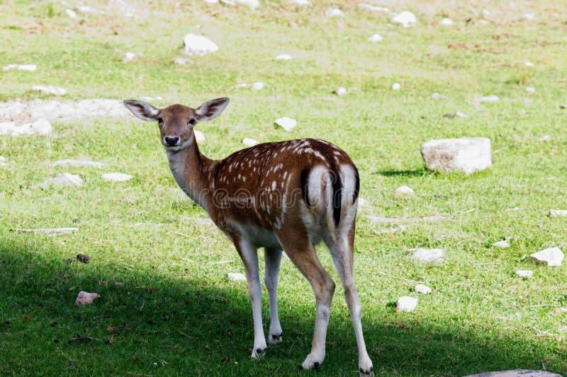 Unga kvinnliga hjortar med hennes fläck i ängen arkivbild