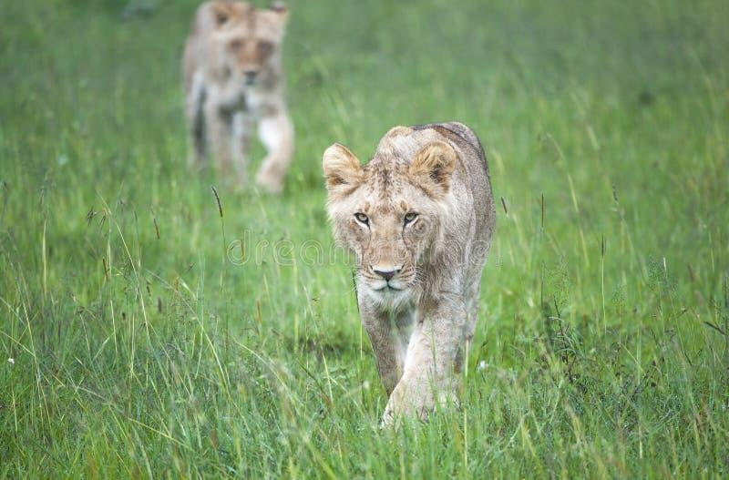 Unga lejon som förföljer till och med slättarna av Masaaien Mara arkivbilder
