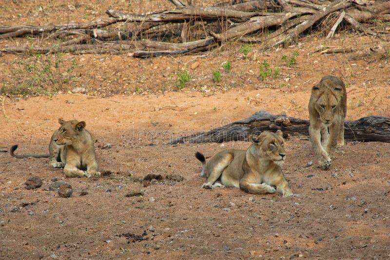 Unga lejon som har, vilar på kruger arkivbild