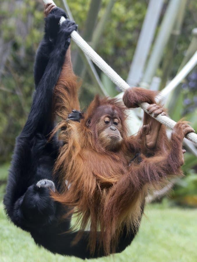 Unga lekar för en orangutang med en Siamang royaltyfria bilder