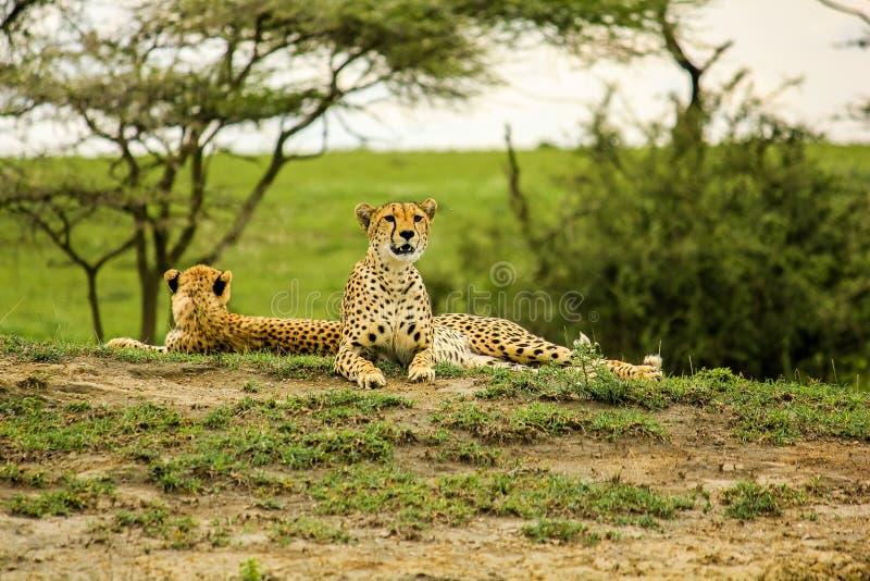 Unga manliga geparder royaltyfria bilder