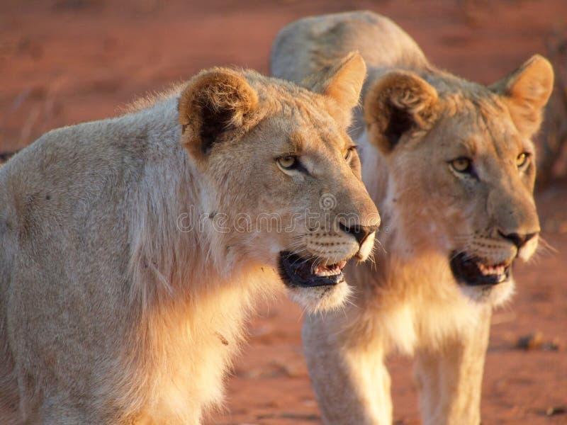 Unga manliga lejon arkivbilder