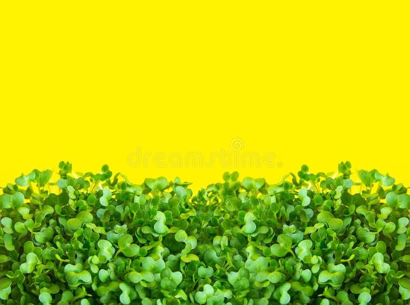 Unga nya gröna groddar av inlagd vattenkryddkrasse på solig gul bakgrund Microgreens som arbeta i trädgården den baserade sunda v arkivbild