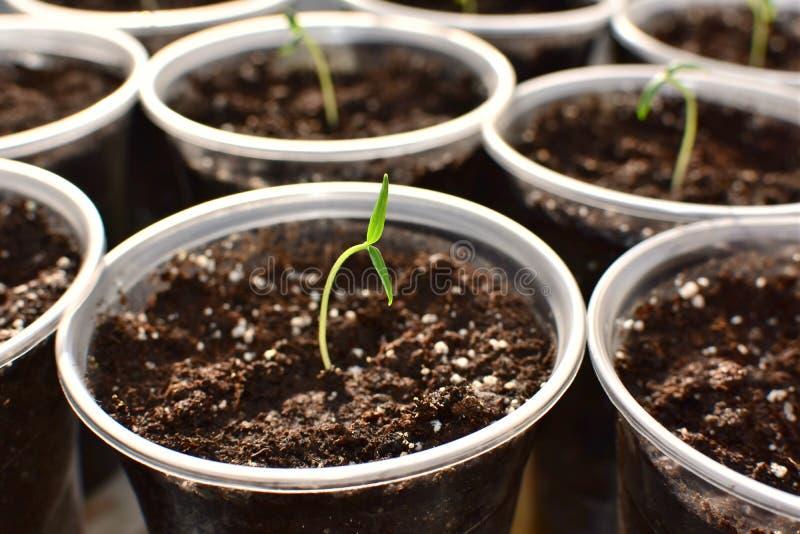 Unga nya gröna plantor som växer i en kruka under solen royaltyfria bilder