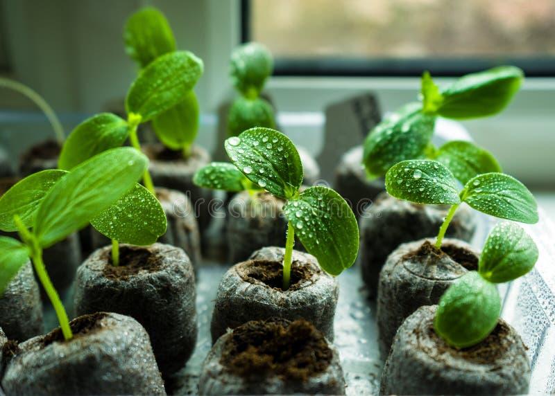 Unga nya gurkaplantagroddar som växer i torvminnestavlor på fönsterbräda royaltyfri bild