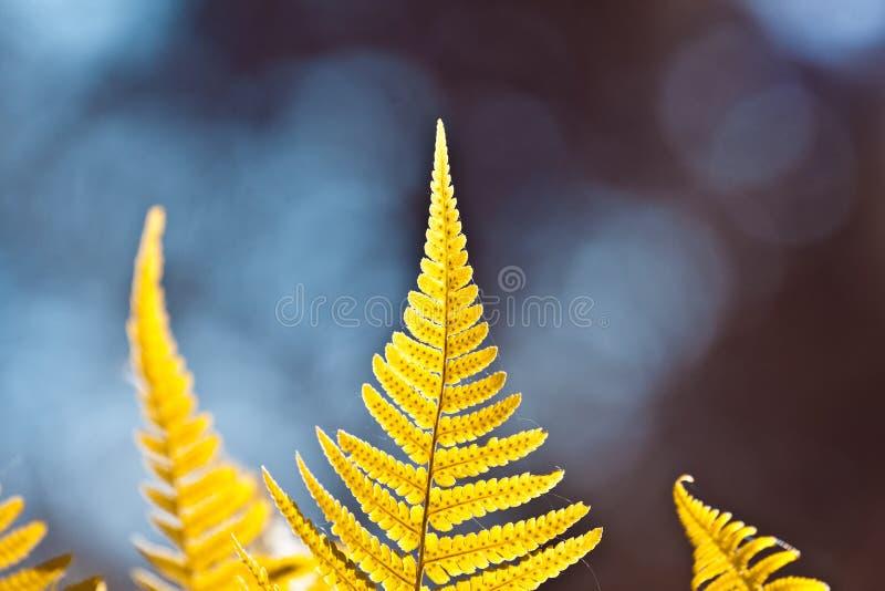 Unga, nya och sunda ormbunkesidor på färgglad naturlig suddig bakgrund för skog och för himmel, ljus solig sommarnatur fotografering för bildbyråer