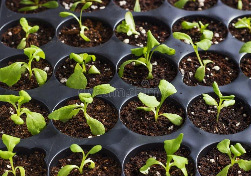 Unga nya plantor i plast- krukor, organiska växande grönsaker arkivfoto