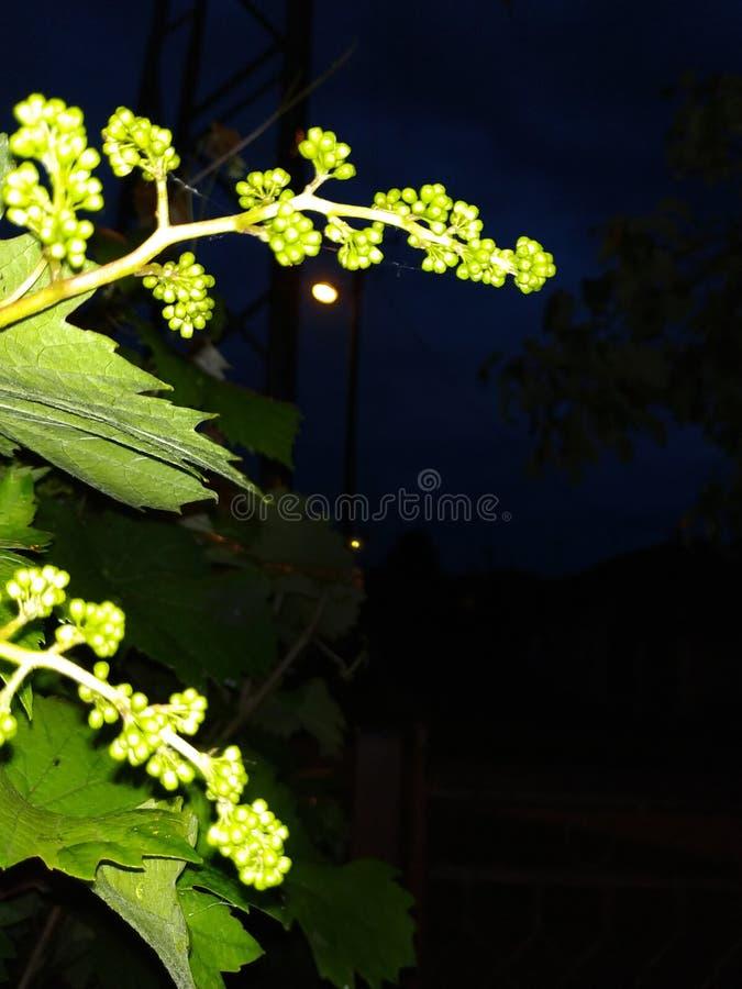 Unga och gröna druvor på natten arkivbilder