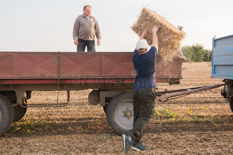 Unga och starka baler för bondekasthö i en traktorsläp - b royaltyfri foto