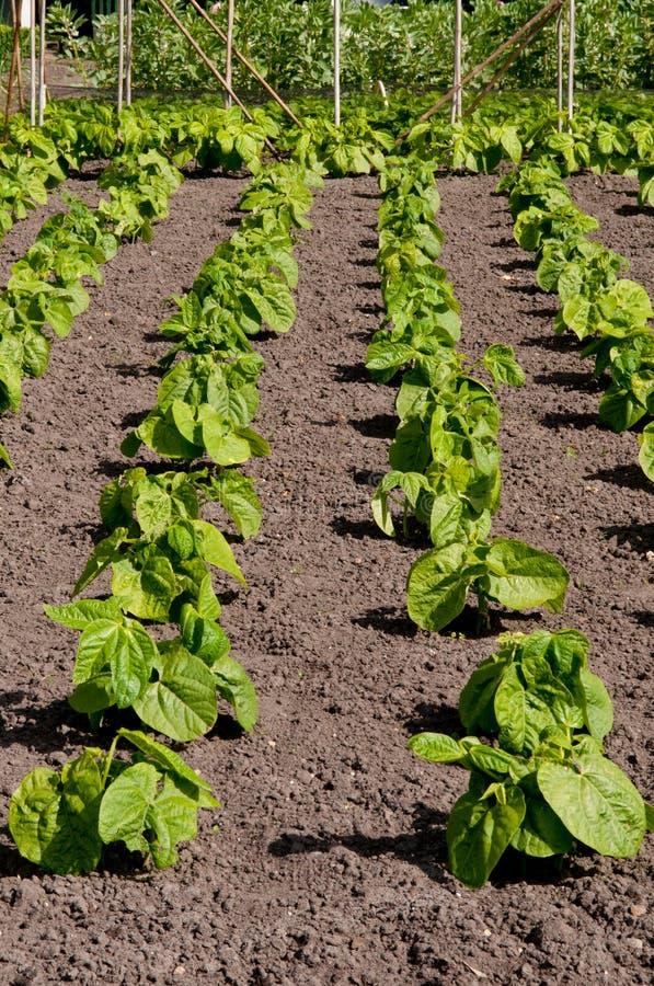 Download Unga odlingslottbönor fotografering för bildbyråer. Bild av lantbruk - 19780331