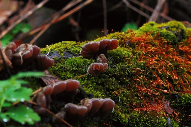 Unga ostronchampinjoner, mossor och laver växer på ett stupat träd på höstskogcloseupen royaltyfri fotografi