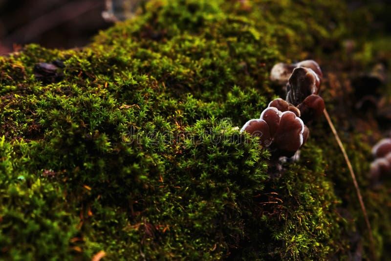 Unga ostronchampinjoner som växer på ett stupat träd Grön mossa som täcker ett träd i skogen arkivfoton