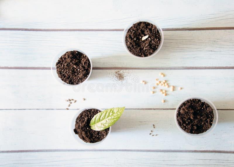 Unga plantor som står i plast- koppar på en trätabell, vår, bästa sikt royaltyfri bild