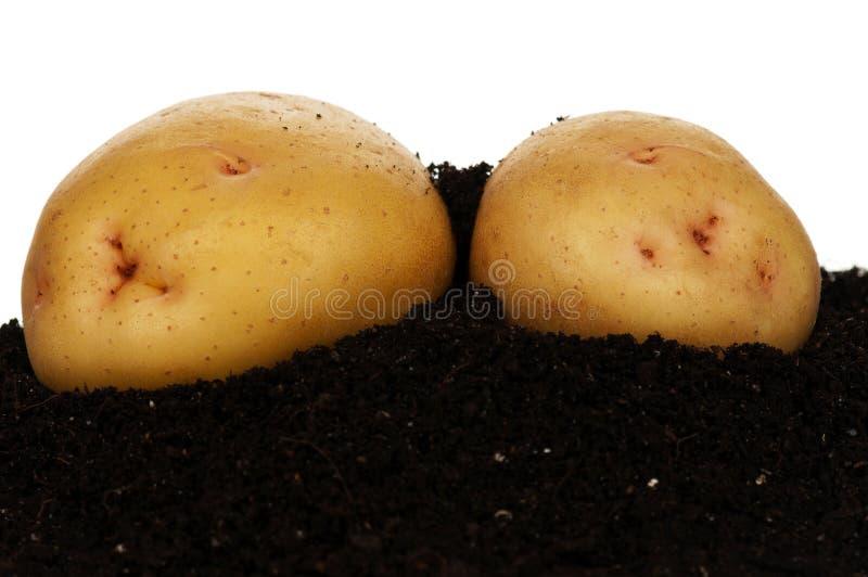 Unga potatisar arkivbilder