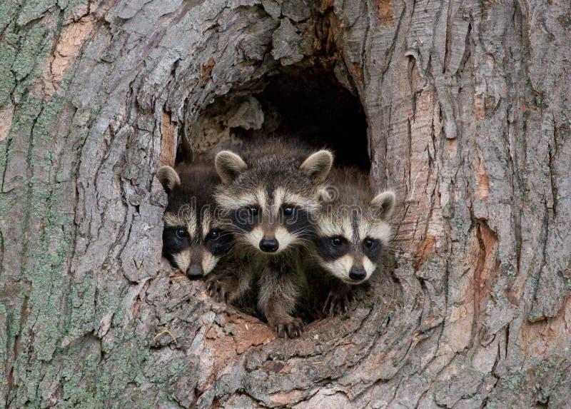 unga raccoons arkivbild