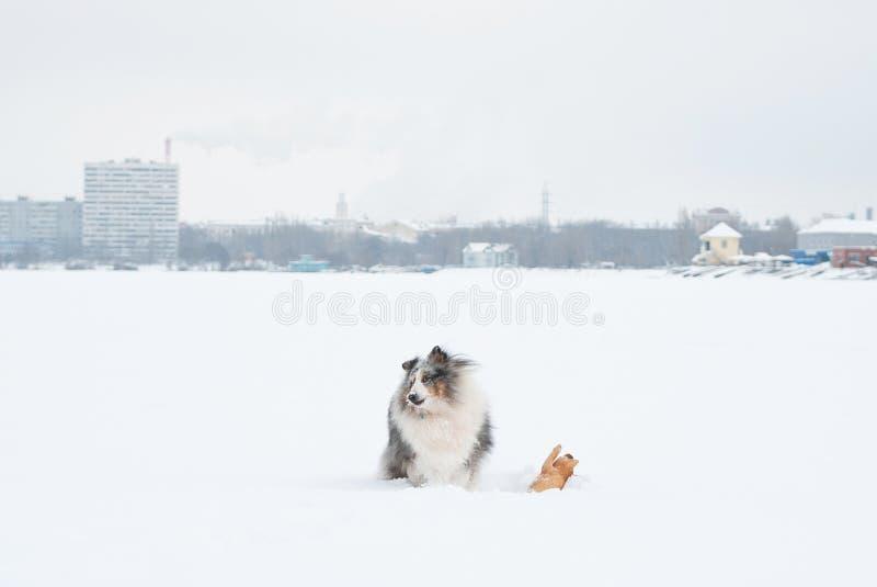 Unga roliga sheltielekar i snön royaltyfri foto