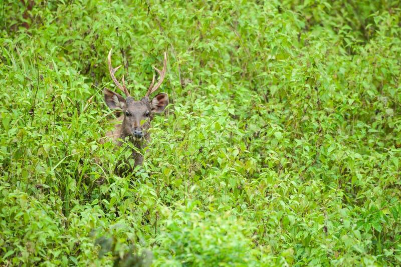 Unga Sambarhjortar i tropisk grässlätt khaonationalpark yai UNESCO världsarvet thailand paraply för regnig sandig säsong för stra royaltyfri bild