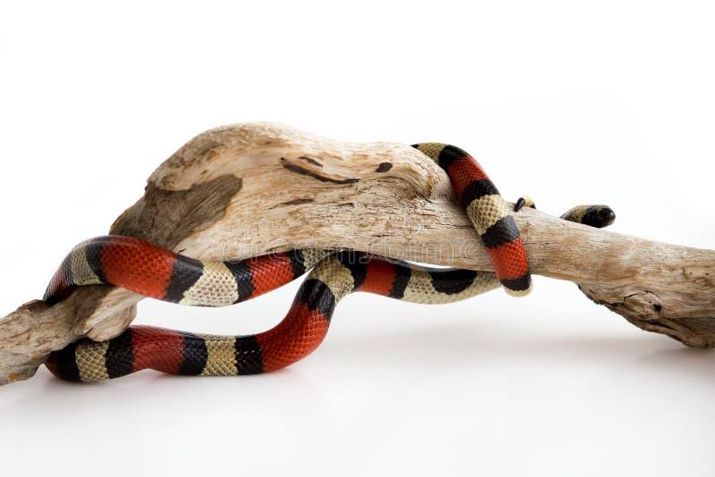 Unga scharlakansröda kingsnakeLampropeltiselapsoides på ett träkrökt hinder Nonpoisonous orm med färgade tre, som arkivfoton