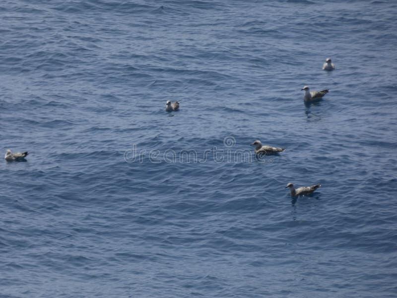 Unga seagulls som simmar i medelhavet royaltyfri foto