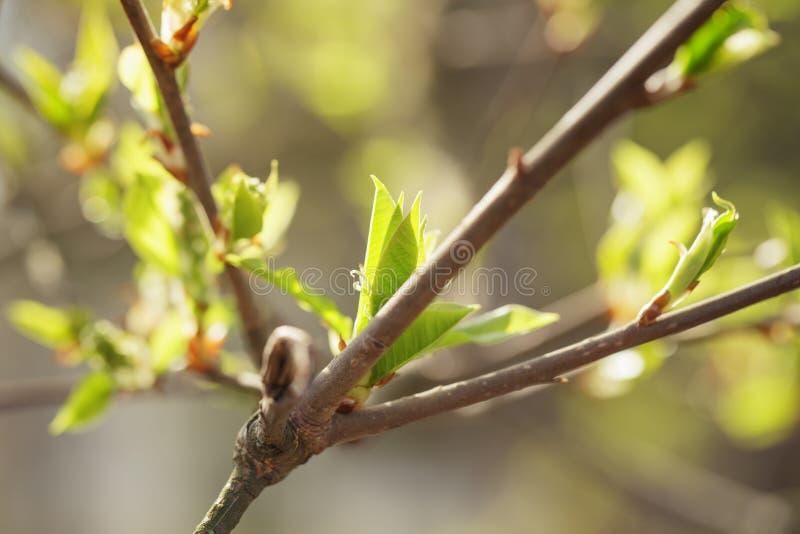 Unga sidor av detfågel trädet i vårmorgon arkivfoto