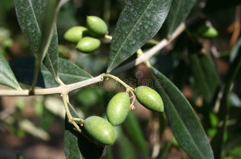 Unga små gröna oliv royaltyfria bilder