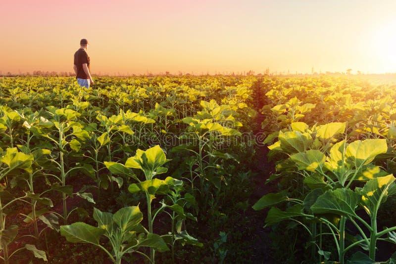 Unga solrosor blommar royaltyfri fotografi