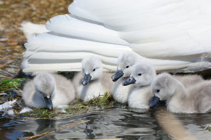 Unga svanar för stum svan med deras moder i vattnet royaltyfri bild