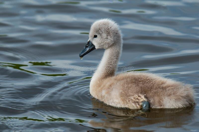 Unga svanen som är liten behandla som ett barn svansimning i floden royaltyfri foto