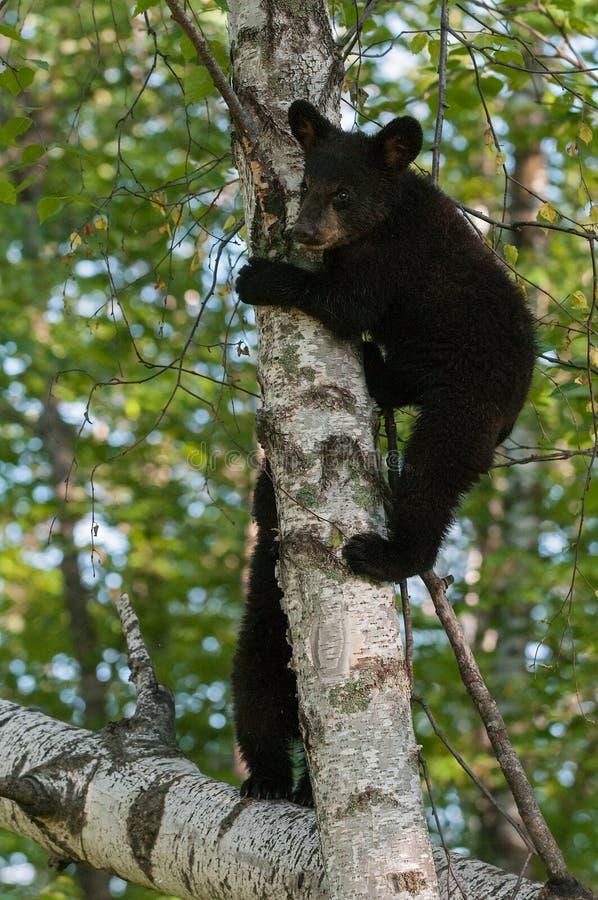 Unga svarta björnar (den americanus ursusen) i träd arkivfoton