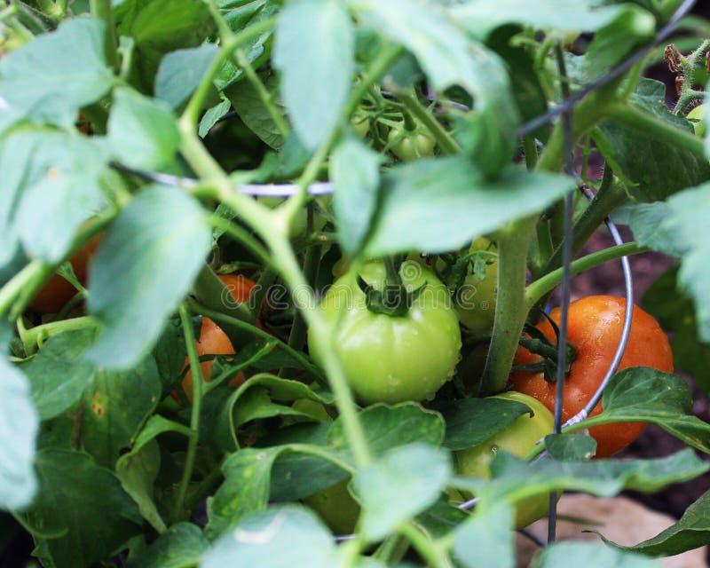 Unga tomater på vinrankan royaltyfri foto