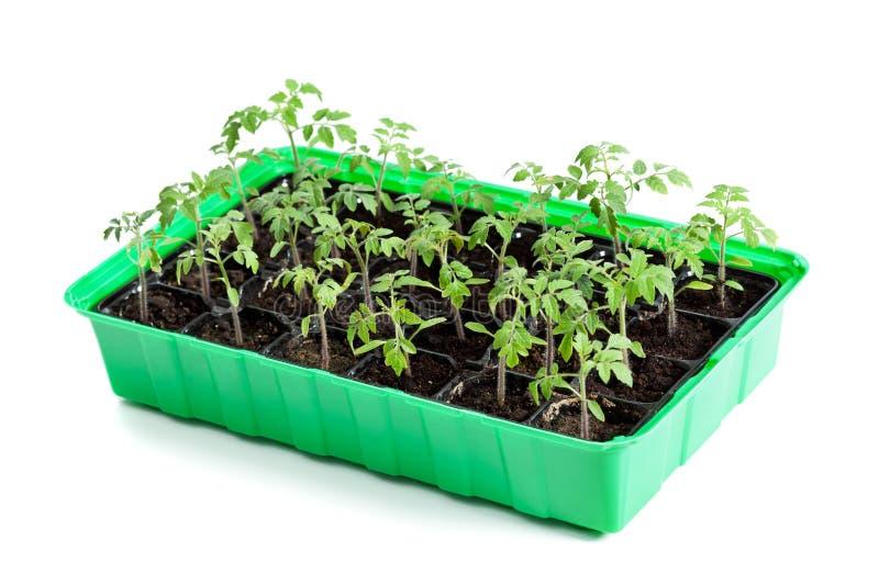 Unga tomatväxter i groendemagasin arkivfoto