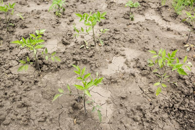 Unga tomatväxter på torr sprucken jord arkivbilder