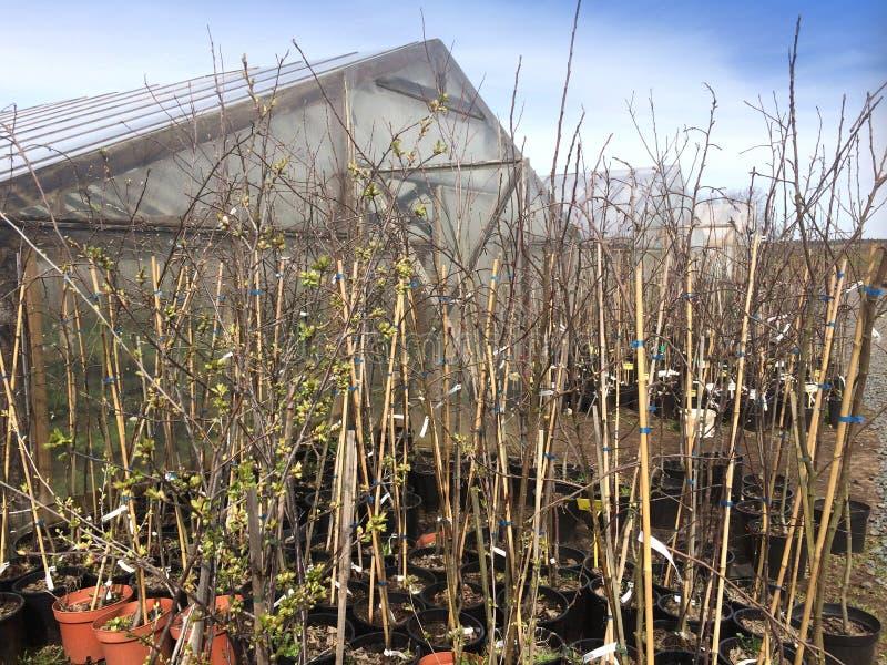 Unga träd av fruktträd nära växthuset i krukor i den tidiga våren royaltyfri fotografi