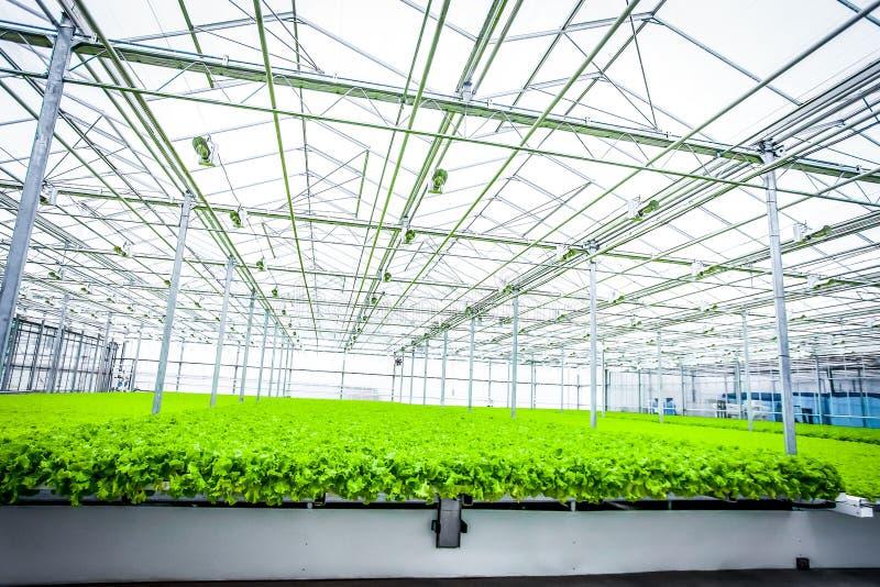 Unga växter av grönsallat royaltyfri fotografi