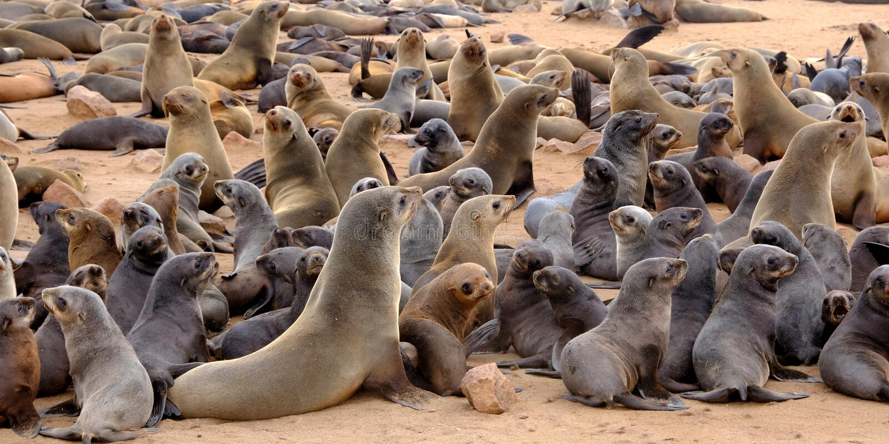 Unga valper för uddepälsskyddsremsa med deras mödrar på skyddsremsakolonin på stranden på uddekorset på den namibiska kusten royaltyfri fotografi