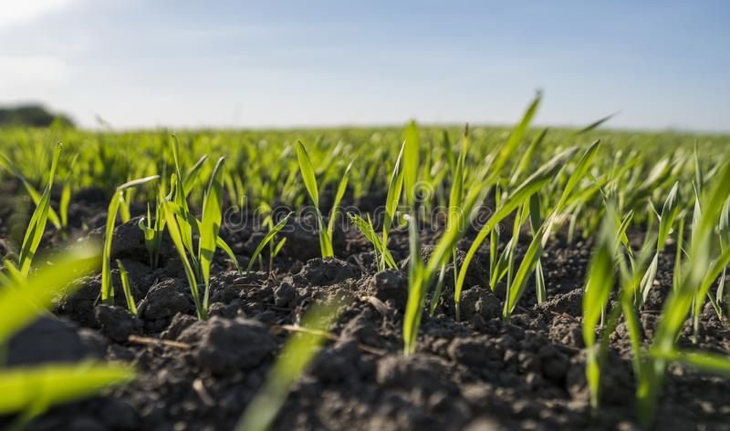 Unga veteplantor som växer i ett fält Barnet gör grön vete som växer i jord Stäng sig upp på att spira råg som är jordbruks- på a arkivbild