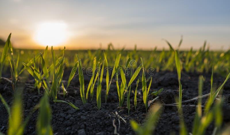 Unga veteplantor som växer i ett fält Grönt vete som växer i jord Stäng sig upp på att spira råg som är jordbruks- på ett fält arkivfoton