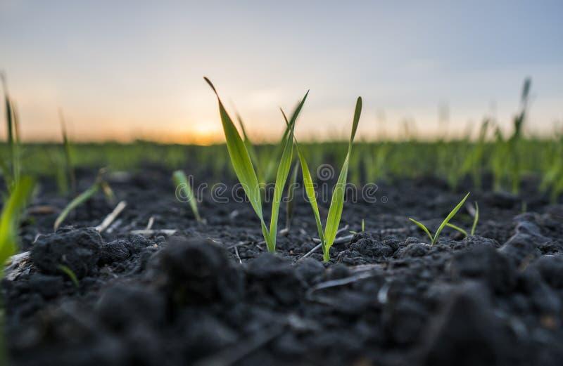 Unga veteplantor som växer i ett fält Grönt vete som växer i jord Stäng sig upp på att spira råg som är jordbruks- på ett fält arkivfoto