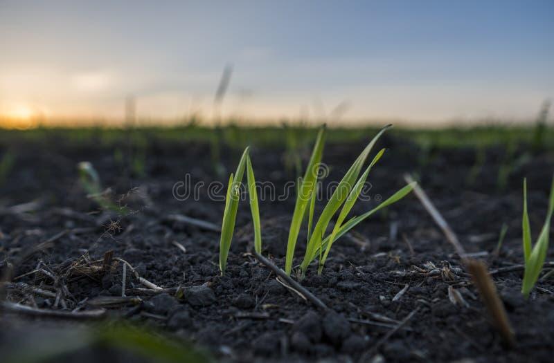 Unga veteplantor som växer i ett fält Grönt vete som växer i jord Stäng sig upp på att spira råg som är jordbruks- på ett fält fotografering för bildbyråer