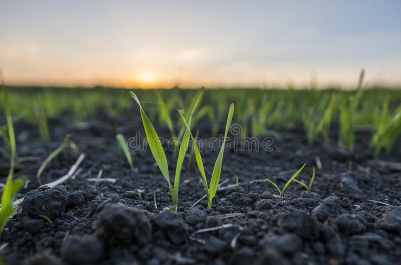 Unga veteplantor som växer i ett fält Grönt vete som växer i jord Stäng sig upp på att spira råg som är jordbruks- på ett fält royaltyfria bilder