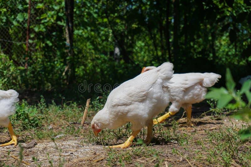 Unga vita hönor som äter på jordningen royaltyfri bild