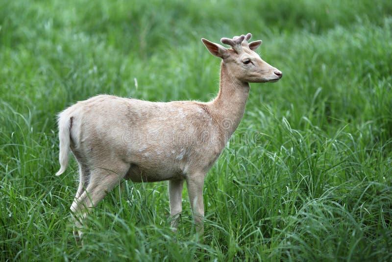 Unga vita hjortar, sommarsäsong royaltyfri foto