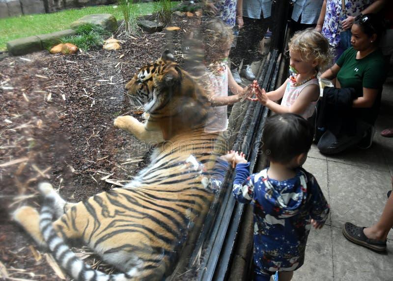 Ungar som håller ögonen på och tar fotoet av en Sumatran tiger arkivfoto